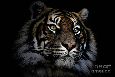 Black And White Ink Illustrations - Sumatran tiger by Sheila Smart Fine Art Photography
