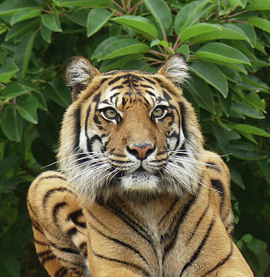 Photograph - Sumatran Tiger Stripes by Margaret Saheed