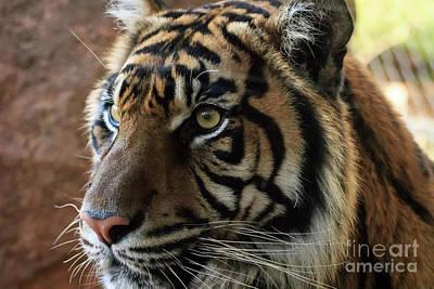 Photograph - Sumatran Tiger Up Close #2 by Richard Smith