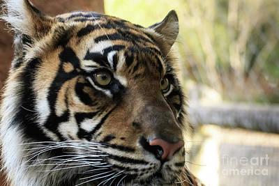 Photograph - Sumatran Tiger Up Close #3 by Richard Smith