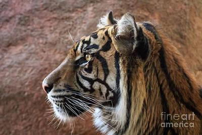 Photograph - Sumatran Tiger Up Close #4 by Richard Smith