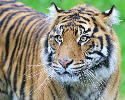 Photograph - Sumatran Tiger Up Close by Steve McKinzie