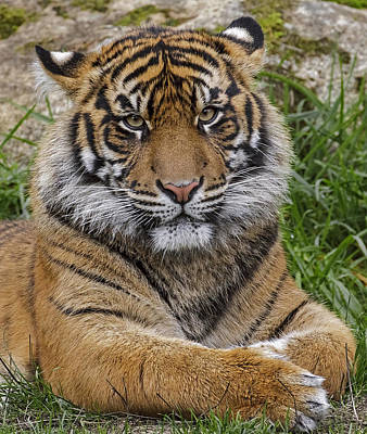 Photograph - Sumatran Tiger by Wes and Dotty Weber