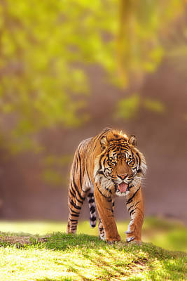 Sumatra Photograph - Sumatran Tiger Walking Forward by Susan Schmitz