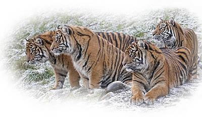 Photograph - Sumatran Tigers by Wes and Dotty Weber