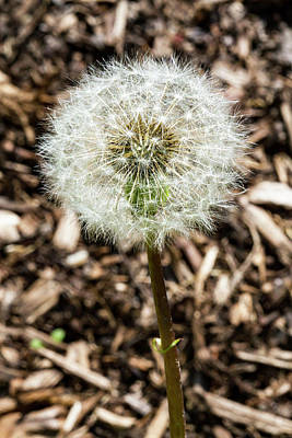 Photograph - Summer Allergy - Dandelion by Bob Slitzan