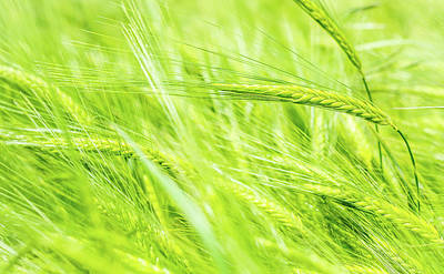 Photograph - Summer Barley. by Gary Gillette