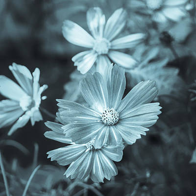 Photograph - Summer Beauties Cyanotype by Marianne Campolongo