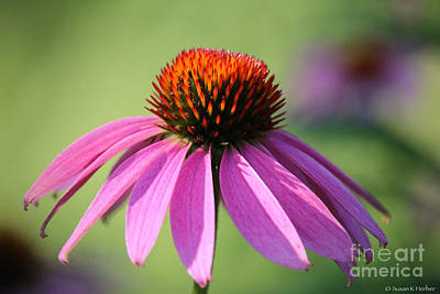 Photograph - Summer Bloom by Susan Herber