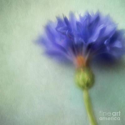 Cornflower Photograph - Summer Blues by Priska Wettstein