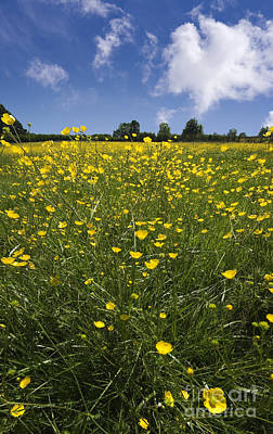 Photograph - Summer Buttercups by Meirion Matthias