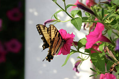 Photograph - Summer Butterfly by Daniel Houghton
