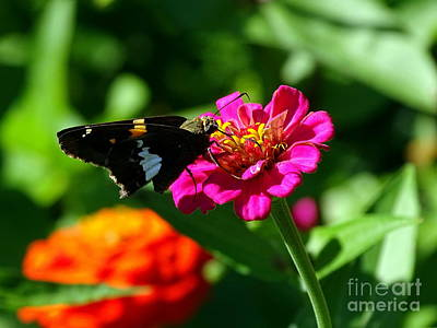 Photograph - Summer Butterfly by Ed Weidman