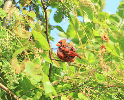 Photograph - Summer Cardinal In Green by Dan Sproul