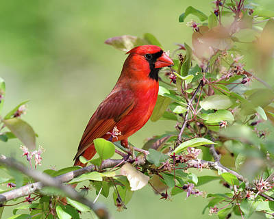 Photograph - Summer Cardinal by Kristin Hatt