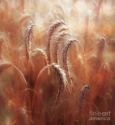 Photograph - Summer Corn by Agnieszka Mlicka