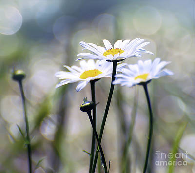 Photograph - Summer Daisies by Kerri Farley