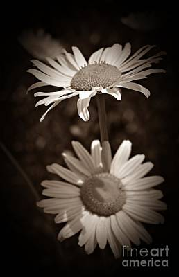 Photograph - Summer Daisies Sepia by Chalet Roome-Rigdon