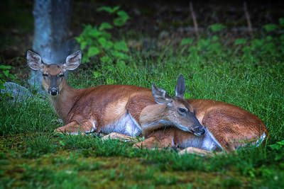 Photograph - Summer Deer by Mary Almond