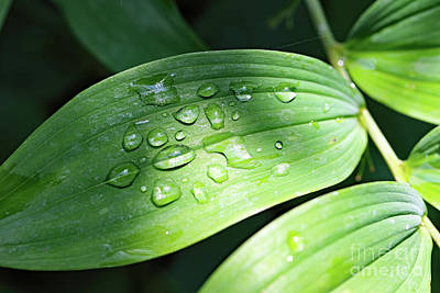 Photograph - Summer Dew Drops by Mary Haber