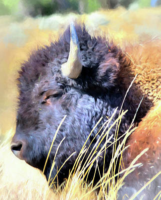 Summer Dozing - Buffalo Art Print