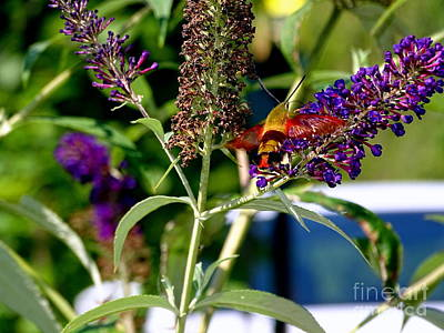 Photograph - Summer Dragonfly by Ed Weidman