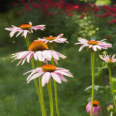 Photograph - Summer Echinacea I by Marianne Campolongo