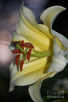 Photograph - Summer Evening And The Yellow Lily  by Terri Thompson