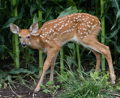 Photograph - Summer Fawn by Virginia Folkman