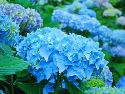 Halloween Movies - Summer Garden Blue Hydrangea Flowers art print Baslee by Patti Baslee