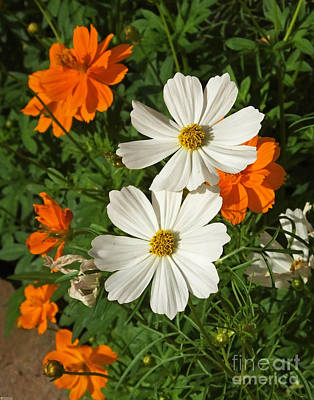 Photograph - Summer Garden Cosmos And Choreopsis by Lizi Beard-Ward