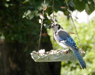 Photograph - Summer Georgia Blue Jay by Belinda Lee