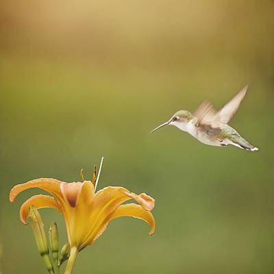 Photograph - Summer Hummer by Heather Applegate