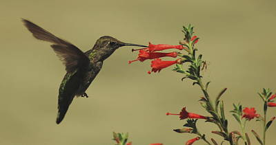 Photograph - Summer Hummer by Lawrence Pratt