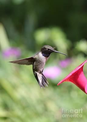 Photograph - Summer Hummingbird Pause by Carol Groenen