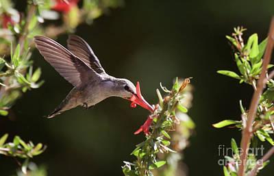 Photograph - Summer Hummingbird by Ruth Jolly