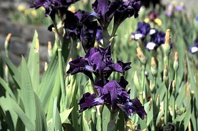 Photograph - Summer Iris by Tikvah's Hope