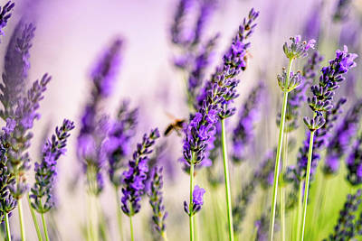 Bee Wall Art - Photograph - Summer Lavender  by Nailia Schwarz