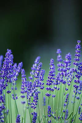 Summer Lavender Art Print by Pierre Cornay