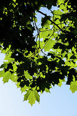 Photograph - Summer Leaves  by Robert Ullmann