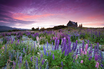 Church Photograph - Summer Lupins At Sunrise At Lake Tekapo, Nz by Atan Chua