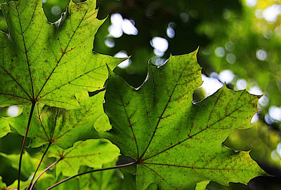Summer Maple Leaves Art Print by Joanne Coyle