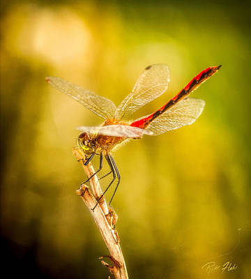 Photograph - Summer Meadowhawk by Rikk Flohr