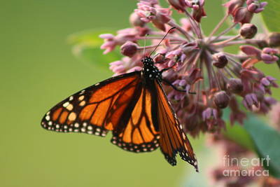 Photograph - Summer Monarch Butterfly  by Neal Eslinger