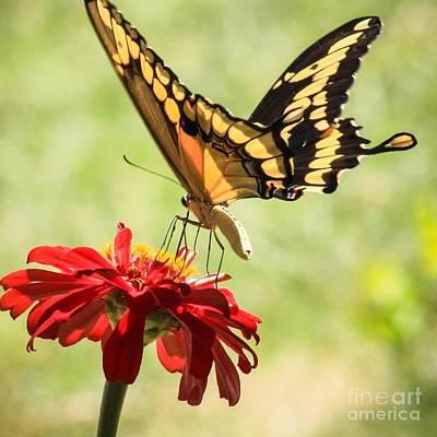 Photograph - Summer Nectar by Toma Caul