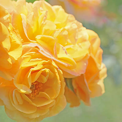 Photograph - Golden Yellow Roses In The Garden by Jennie Marie Schell