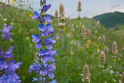 Photograph - Summer Penstemon Wildflower Blooms by Cascade Colors