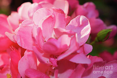 Photograph - Summer Pink Rose by Nina Ficur Feenan