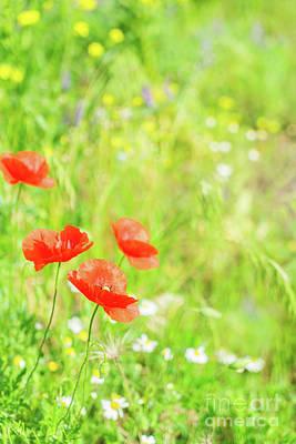 Photograph - Summer Poppyes by Anastasy Yarmolovich