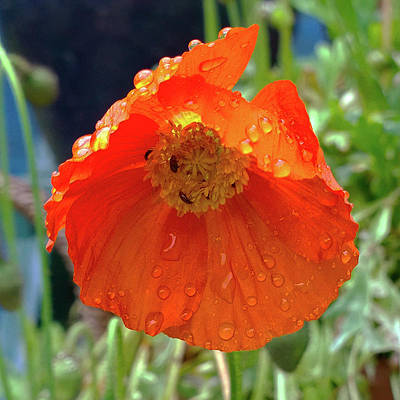 Photograph - Summer Rain On A Poppy by Anne Kotan